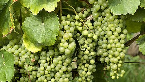 トカイワインの性質